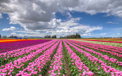 The perfect day at the Skagit Valley Tulips