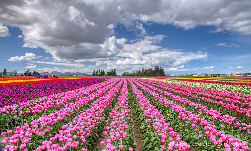 The perfect day trip to the Skagit Valley Tulips